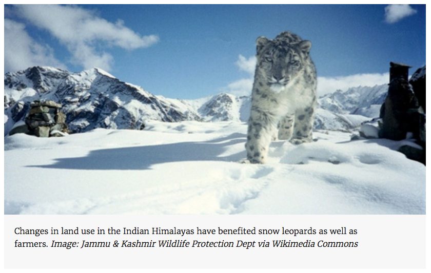 Changes in land use in the Indian Himalayas have benefited snow leopards as well as farmers. Image: Jammu & Kashmir Wildlife Protection Dept via Wikimedia Commons